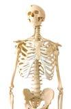 Esqueleto humano Fotografia de Stock Royalty Free