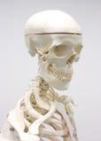 Esqueleto humano Fotografía de archivo libre de regalías