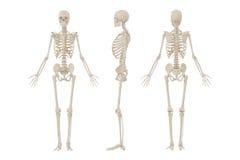 Esqueleto humano ilustração stock