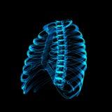 Esqueleto humano fotografía de archivo