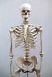 Esqueleto humano Foto de Stock Royalty Free