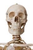 Esqueleto humano, aislado en el fondo blanco Imágenes de archivo libres de regalías