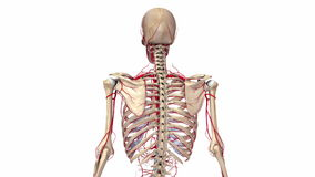 Esqueleto humano com artérias ilustração do vetor