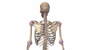 Esqueleto humano com ligamentos ilustração do vetor