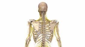 Esqueleto humano com nervos ilustração do vetor