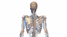 Esqueleto humano com veias ilustração stock