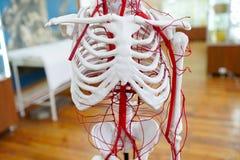 Esqueleto humano de la anatomía del sistema circulatorio foto de archivo libre de regalías
