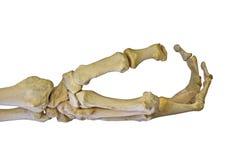 Esqueleto humano del brazo aislado en blanco Imagen de archivo libre de regalías