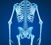 Esqueleto humano: ejemplo médicamente exacto 3D del pecho del pecho Foto de archivo