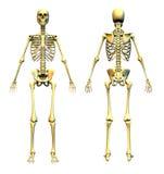 Esqueleto humano - frente y parte posterior Imagen de archivo libre de regalías