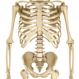 Esqueleto humano: ilustração 3D medicamente exata da caixa do peito Fotos de Stock Royalty Free