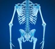 Esqueleto humano: ilustração 3D medicamente exata da caixa do peito Foto de Stock