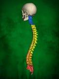 Esqueleto humano M-SK-POSE Bb-56-20, columna vertebral, modelo 3D Fotos de archivo libres de regalías
