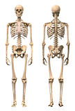 Esqueleto humano masculino, dos opiniónes, frente y parte posterior.