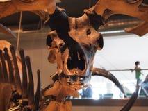Esqueleto irlandês do museu dos alces foto de stock