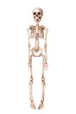 Esqueleto isolado no branco Imagem de Stock