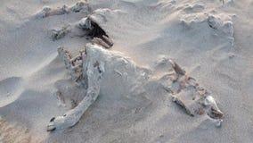 Esqueleto lleno de las ovejas que miente en la playa arenosa de Portnoo, condado Donegal - Irlanda metrajes