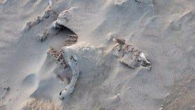 Esqueleto lleno de las ovejas que miente en la playa arenosa de Portnoo, condado Donegal - Irlanda almacen de metraje de vídeo