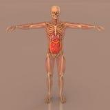 Esqueleto lleno del cuerpo de la anatomía humana Foto de archivo libre de regalías