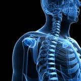 Esqueleto masculino Imagem de Stock Royalty Free