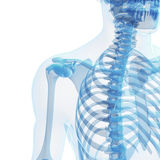 Esqueleto masculino Imagens de Stock Royalty Free