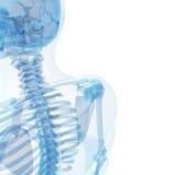 Esqueleto masculino Fotografia de Stock