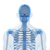 Esqueleto masculino Foto de Stock Royalty Free