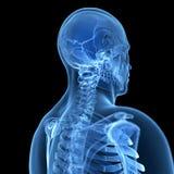 Esqueleto masculino Imagenes de archivo