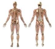 Esqueleto masculino con los músculos semitransparentes Fotografía de archivo libre de regalías