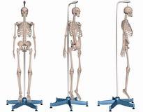 Esqueleto no carrinho Fotos de Stock