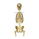 Esqueleto: Osso do crânio, dos reforços, da espinha dorsal e do quadril ilustração stock