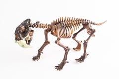tigre Sable-dentado Fotos de archivo libres de regalías