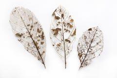 Esqueleto secado da folha Imagem de Stock