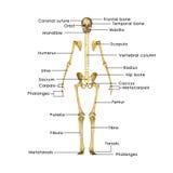 Esqueleto sem caixa torácica Imagens de Stock Royalty Free