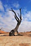 Esqueleto solo del árbol, Deadvlei, Namibia Imágenes de archivo libres de regalías