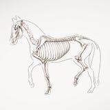 Esqueleto tirado mão do cavalo Fotografia de Stock Royalty Free
