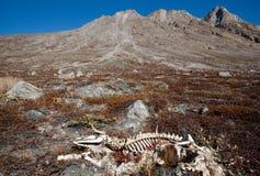 Esqueleto y montañas del buey  Fotografía de archivo