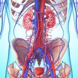 Esqueleto y riñón con la vejiga Foto de archivo
