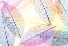 Esqueletos de hojas Fotografía de archivo libre de regalías