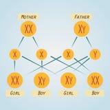 Esquema de la distribución de cromosomas Imagen de archivo libre de regalías