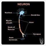 Esquema de la estructura tipical de la neurona de la anatomía para la educación escolar Foto de archivo