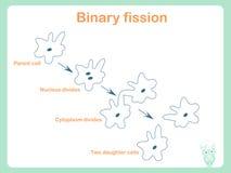 Esquema de la fisión binaria para la educación escolar ilustración del vector