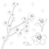Esquema de Prunus Persica - flor de la flor del melocotón Ilustración del vector Aislado en el fondo blanco Fotografía de archivo