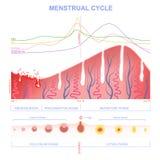Esquema del ciclo menstrual Imágenes de archivo libres de regalías