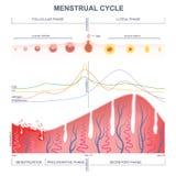 Esquema del ciclo menstrual Fotos de archivo libres de regalías