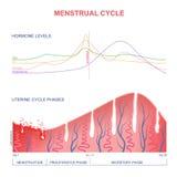 Esquema del ciclo menstrual Fotografía de archivo libre de regalías