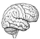 Esquema do cérebro Foto de Stock