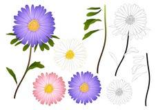 Esquema púrpura, rosado y blanco de la flor del aster Aislado en el fondo blanco Ilustración del vector Fotos de archivo