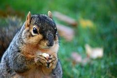 Esquerda ascendente próxima da porca comer do esquilo Imagens de Stock Royalty Free