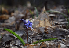 Esquila azul en bosque soleado de la primavera fotos de archivo